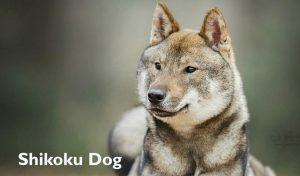 shikoku dog information