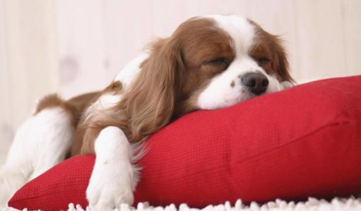 cavalier king charles spaniel fluffy dog
