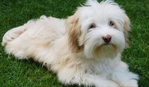 havanese fluffy dog