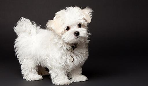 maltese fluffy dog