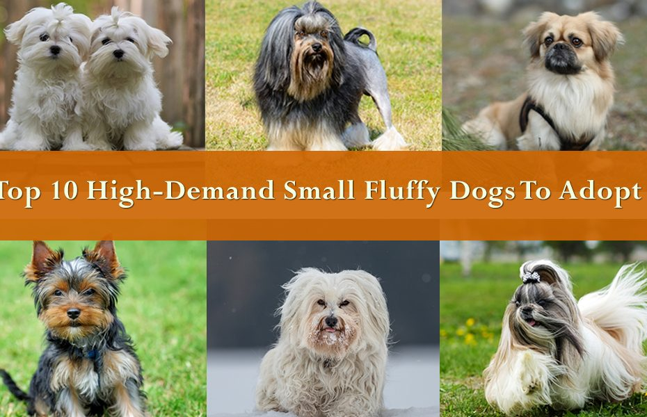 Top 10 High-Demand Small Fluffy Dogs To Adopt