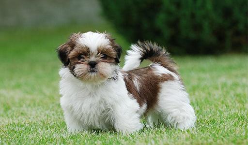 shih tzu fluffy dog