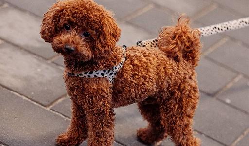 toy poodle fluffy dog