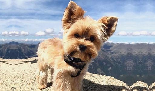 yorkshire terrier fluffy dog