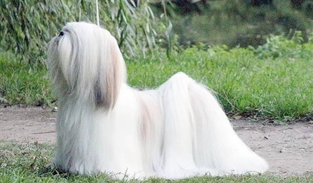 Long Haired Lhasa Apso