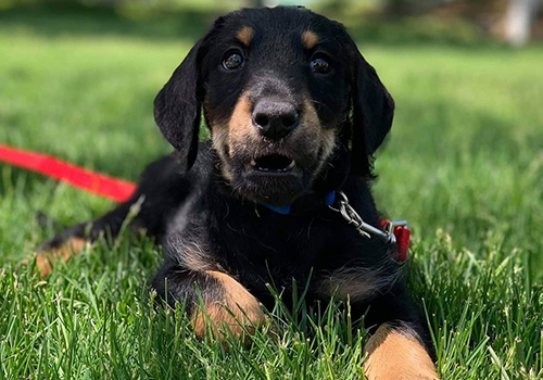 doberdoodle puppy