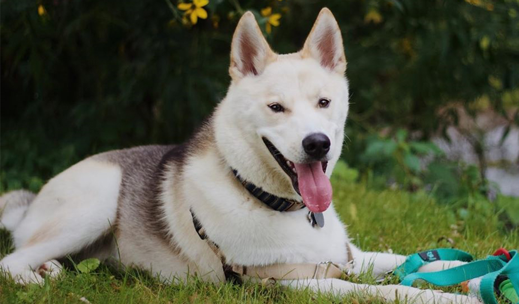 Labsky Crossbreed Dog