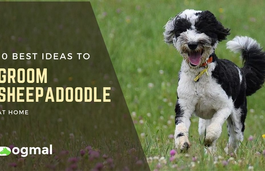 how to groom a sheepadoodle