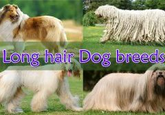 Long-hair-dog-breeds