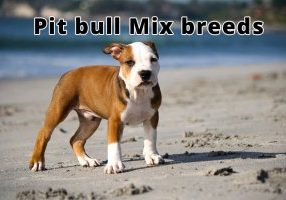 Pit bull Mix breeds