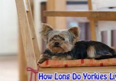 how long yorkies live