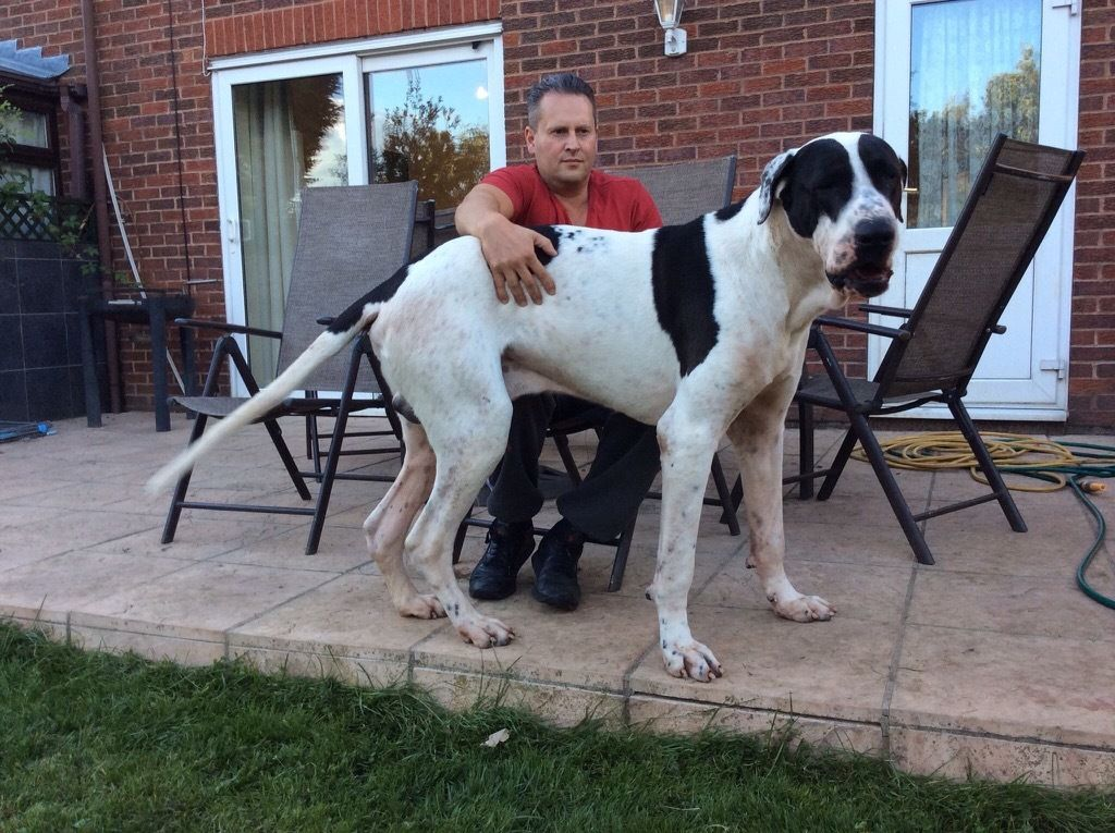 Bully Breed Dogs For Sale Uk