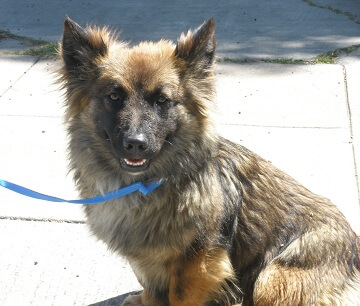 german shepherd and pomeranian mix german shepherd pomeranian mix goldenacresdogs com 8267