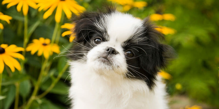 japanese chin information history temperament and japanese