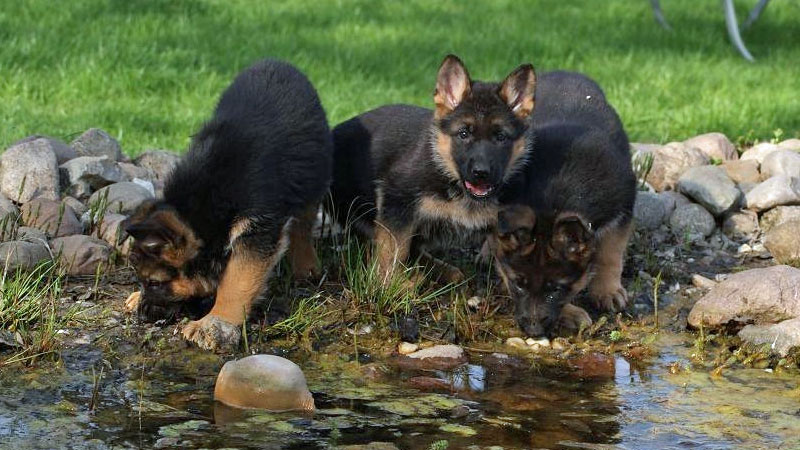 cheap german shepherd puppies small german shepherd photos dogmal 1583