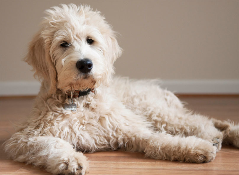 Goldendoodle Dog Dogmal