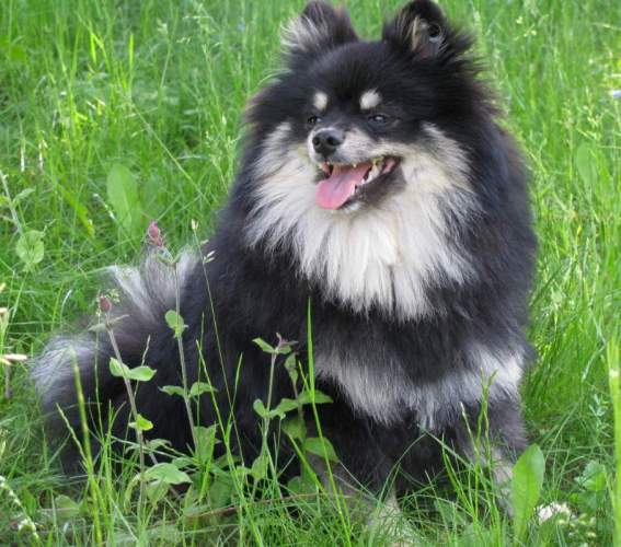 giant pomeranian white pomeranian photo dogmal 6843