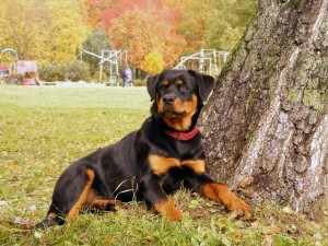 Types Of Rottweiler Dog Dogmal