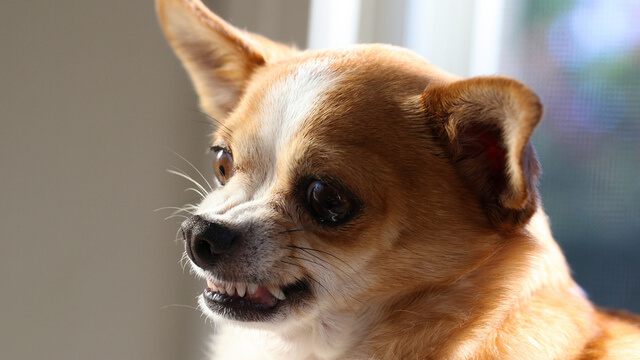 snarling chihuahua snarling dog what it s mean and how to deal with dog 8737